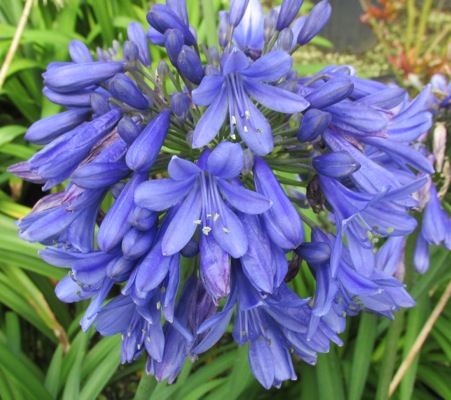 Agapanthus Ever Sapphire flower close-up