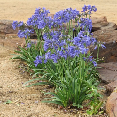 Agapanthus Ever Sapphire in garden