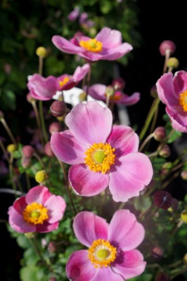Anemone Pink Kiss flower close-up