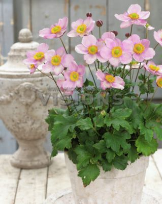 Anemone Pink Kiss on patio