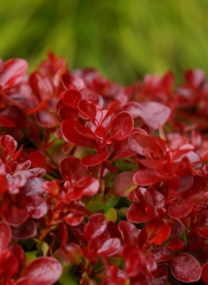 Berberis Lutin Rouge foliage close-up