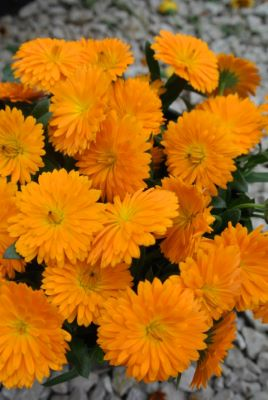 Calendula Winter Creepers™ Oranges & Ice flower close-up