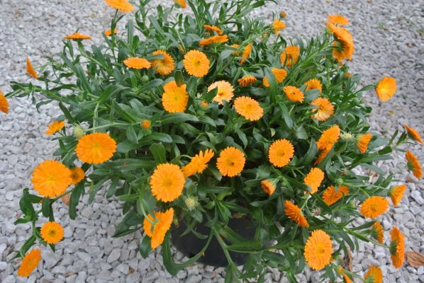 Calendula Winter Creepers™ Oranges & Ice in pot