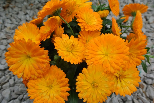 Calendula Winter Creepers™ Nectarine & Frost flower close-up