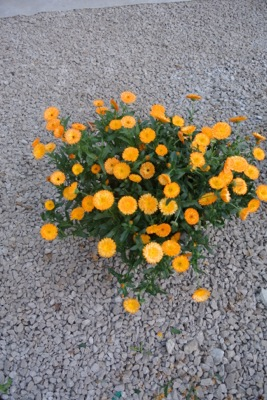 Calendula Winter Creepers™ Nectarine & Frost in pot