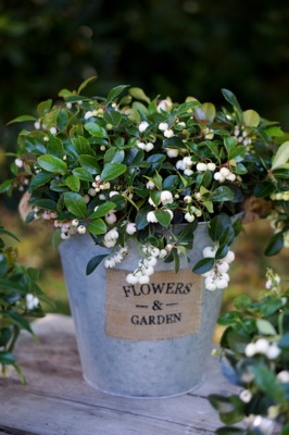 Gaultheria Peppermint Pearl on patio