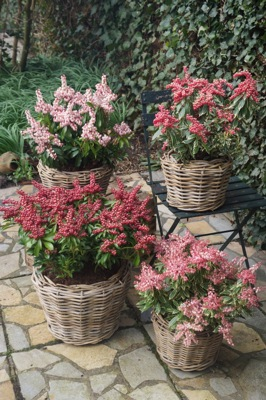 General image of Pieris Passion Party™ 'Passion'