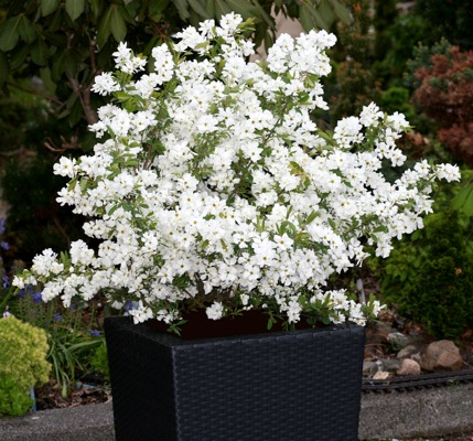 Exochorda Niagara in pot