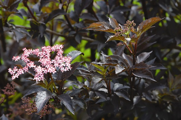 Sambucus Black Beauty flower image