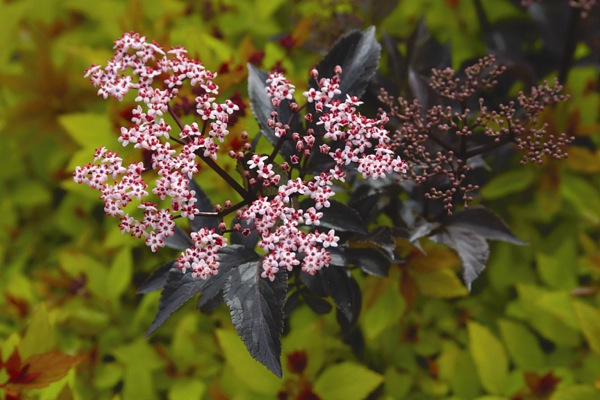 Sambucus Black Beauty flower close-up